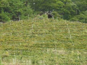 ココファームワイナリ 急斜面の畑